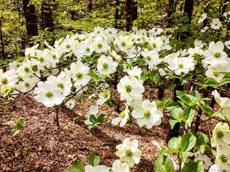 An incredible dogwood bloom in Arkansas (Click on the photo to see more pictures.)